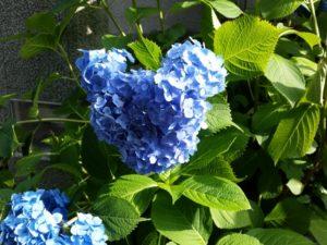 ミッキーマウスの形に咲く青いアジサイ
