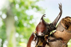 木につかまるオスのカブトムシ