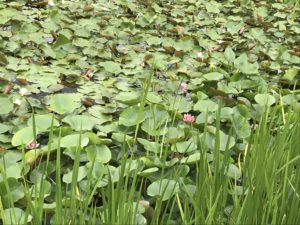 花が咲いているスイレン
