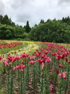 色とりどりのユリが咲いているゆり園
