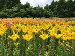 ユリがたくさん咲いているゆり園の風景