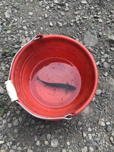 赤いバケツに入った1匹の魚