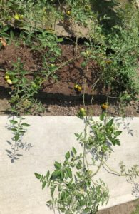 ミニトマトの葉が横に伸びて行く